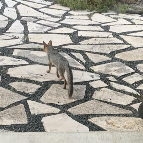 Fox in backyard